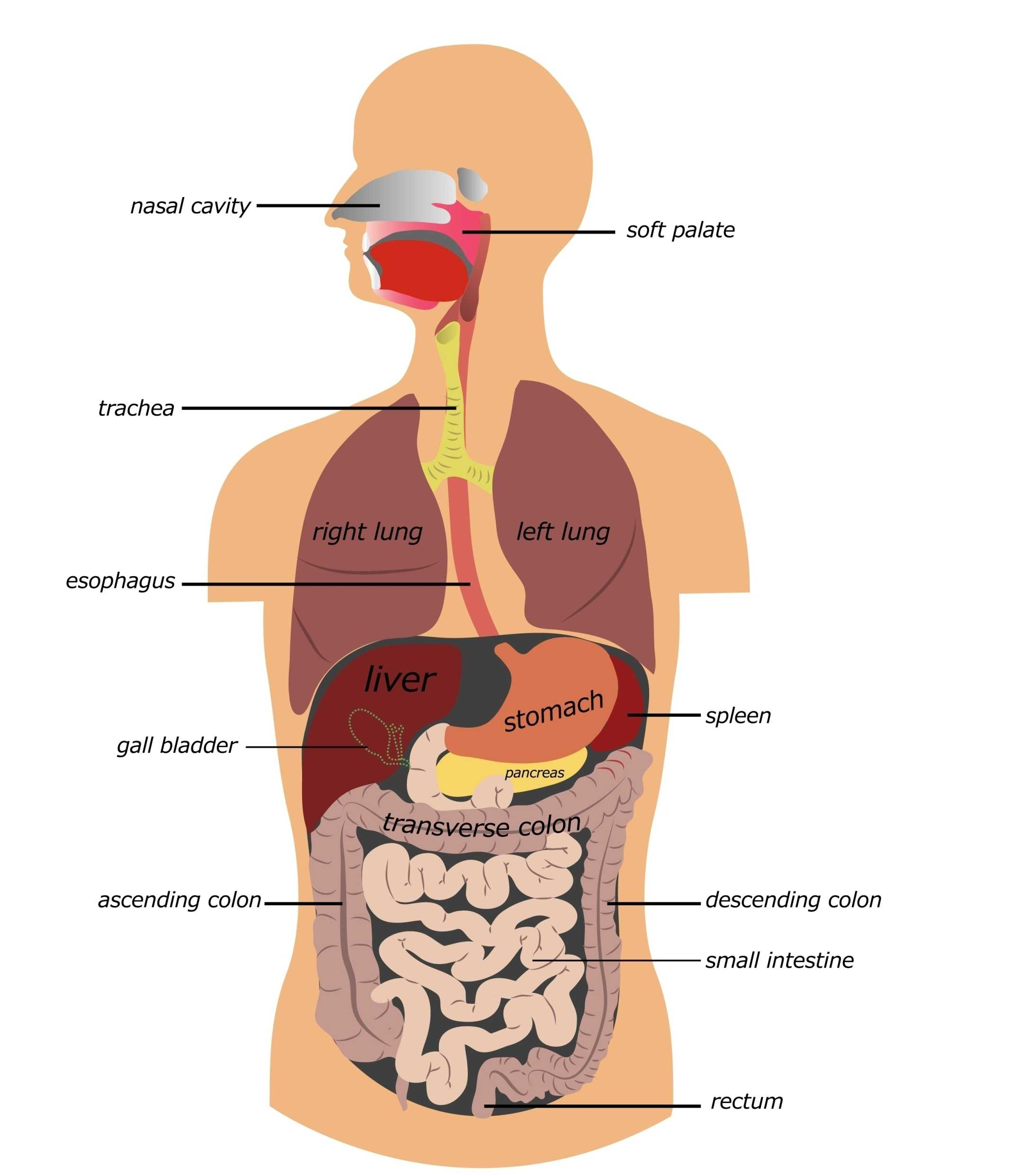 The Human Digestive Tract Worksheet Answers As Well As In