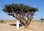 semestafakta-Frankincense Tree2