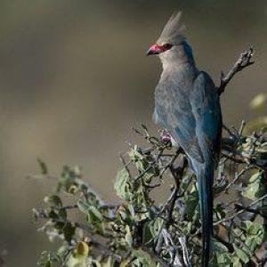 semestafakta-The blue-naped mousebird