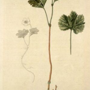 semestafakta-Flora Danica2