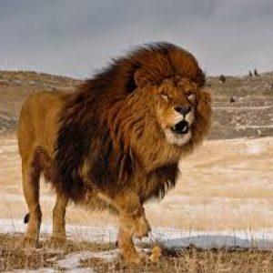 semestafakta-Barbary lion