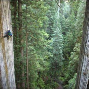 semestafakta-redwood3