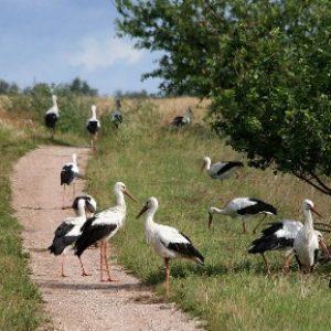 semestafakta-lithuanian storks