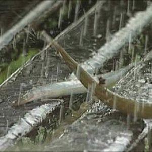 semestafakta-yoro honduras raining fish2