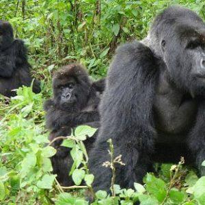 semestafakta-Bwindi and Mgahinga national park