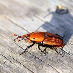 semestafakta-maltese field beetle