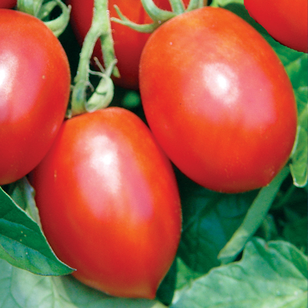 Image result for tomate saladette
