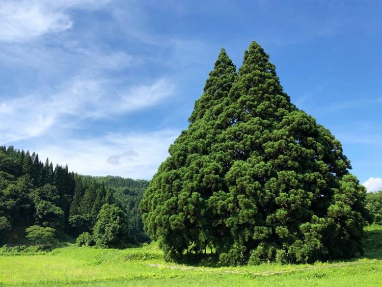 Totoro esiste! Scoperto in una foresta giapponese