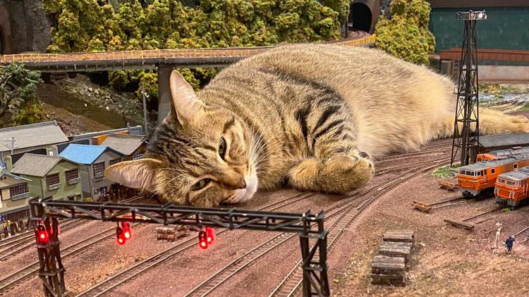 Gatti giganti che dormono sui binari del treno?