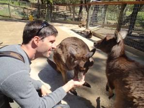 Dando de comer a los canguros