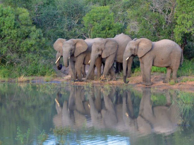 Elephants drink and eat beside a pond.