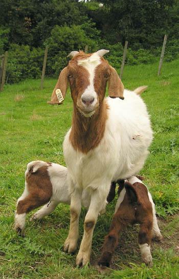 https://i2.wp.com/www.senorcafe.com/archives/goat.jpg