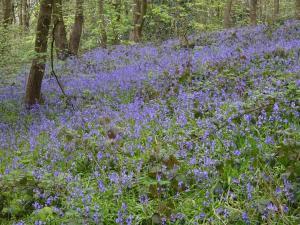 April Woolley Woods Bluebell walk