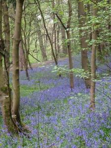 April Woolley Woods Bluebells