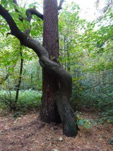 Oct knotted trees in Ecclesall woods