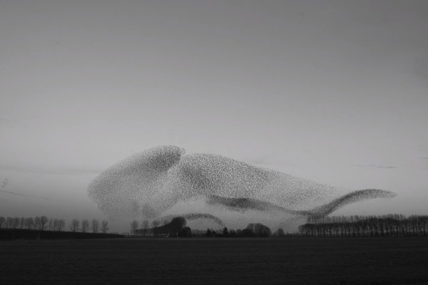 The art of flying murmurations