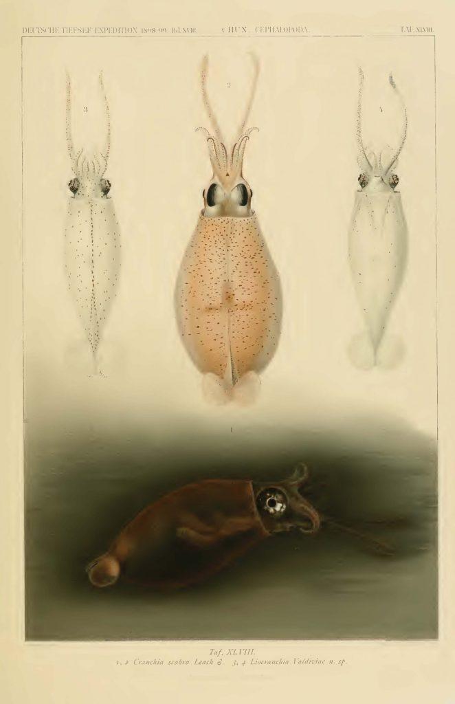 Valdivia Exploration Cephalopod Atlas Carl Chun