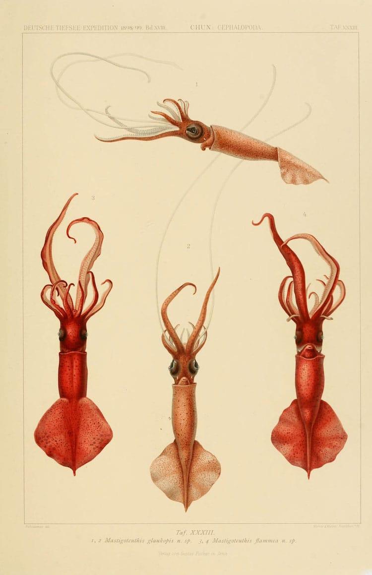 Valdivia Exploration Cephalopod Carl Chun