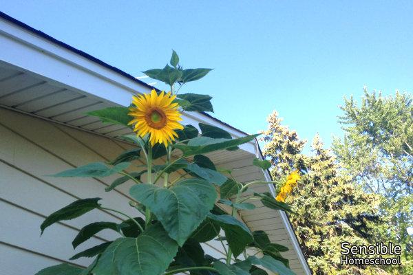 Giant sunflowers in backyard garden