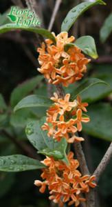 osmanthus_aurantiacus2001