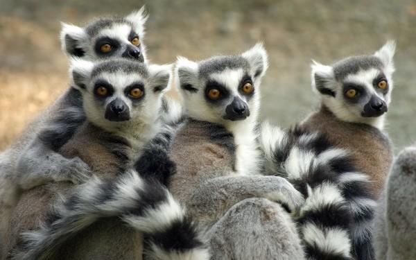 lemuri-madagascar_1200