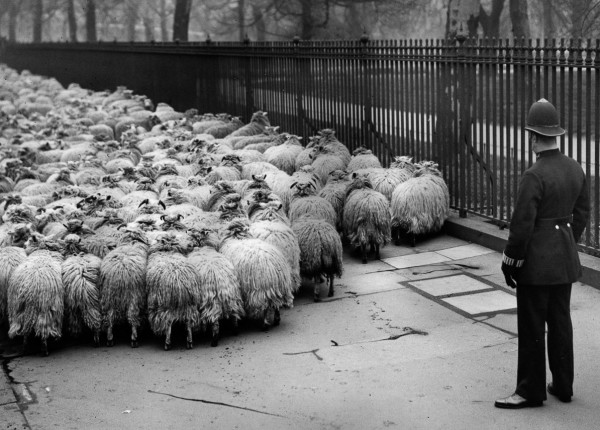 Sheep on the streets of London, 1920s-30 (7)