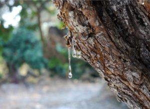 Lacrime di Chios: una linfa sorprendente