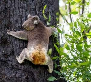 La koala Anwen è guarita dalle ustioni ed è tornata a casa
