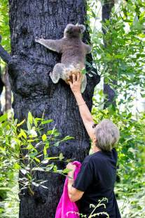 against-all-odds-koala-star-anwen-returns-to-australia-s-bushland-after-a-full-and-speedy-recovery-1586134134-6437