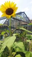 girasole opera in fiore_serra