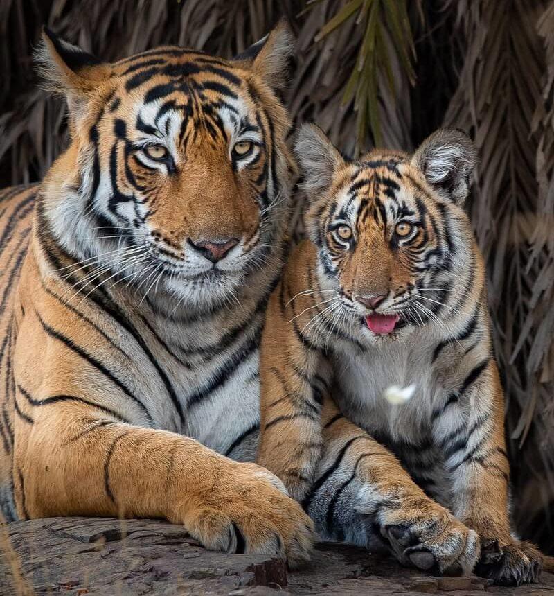 preserviamo-le-tigri-si-celebra-oggi-29-luglio-il-global-tiger-day
