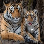 preserviamo-le-tigri-si-celebra-oggi-29-luglio-il-global-tiger-day