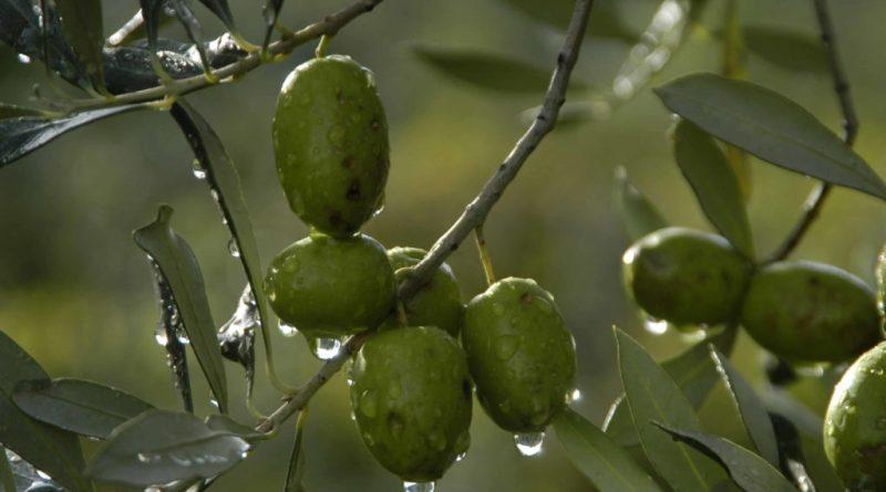 Monna oliva, III edizione per le migliori olive da tavola