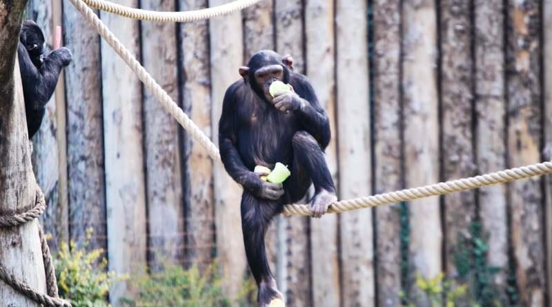 """Lo scimpanzè è la specie animale più vicina a homo sapiens, con una corrispondenza genetica di più del 98%; è """"minacciata"""" di estinzione e il declino delle sue popolazioni non sembra arrestarsi"""