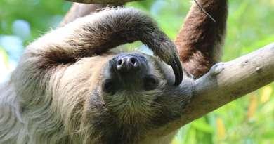 L'abbraccio del bradipo e i selfie su Instagram: le nuove minacce alla sopravvivenza della specie.