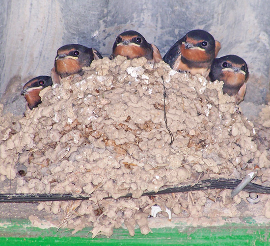 Crías de golondrina a punto de volar. Aquí vemos la típica ubicación de nido, a resguardo de las inclemencias meteorológicas por un tejadillo y aprovechando la ayuda de cara a su soporte que ofrece la pared rugosa de cemento y el cable que discurre por la misma. Foto: Jorge Orueta