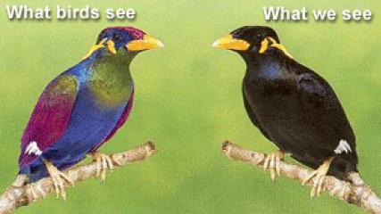 Como veríamos a esta ave (izquierda) y como la vería un ejemplar de su especie (derecha)