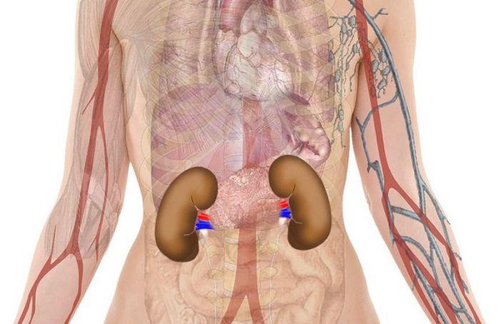 anatomía riñones