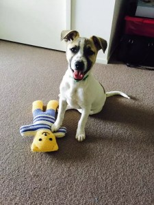dog sitting on carpet with teddy bear - featured on the adopt a dog from SEQ K9 Rescue INC page