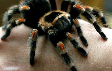 Three Newly Discovered Bird Eating Tarantulas