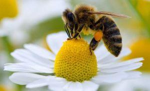 Daisy_Honeybee