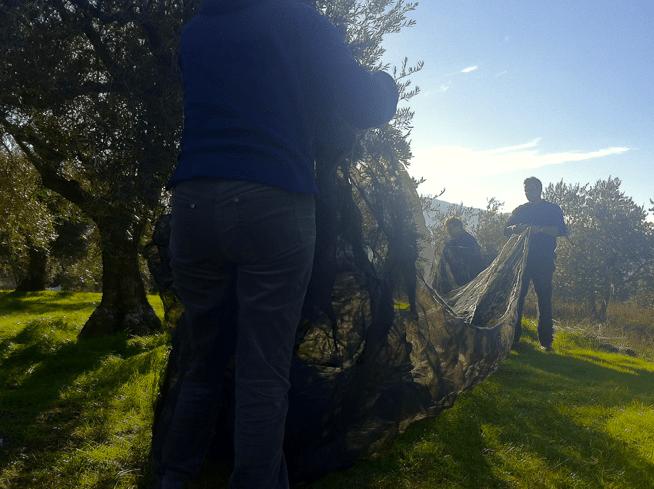Desde San Esteban: los olivos
