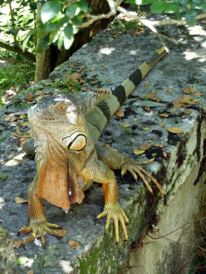 Iguane de Floride à la Villa Vizcaya