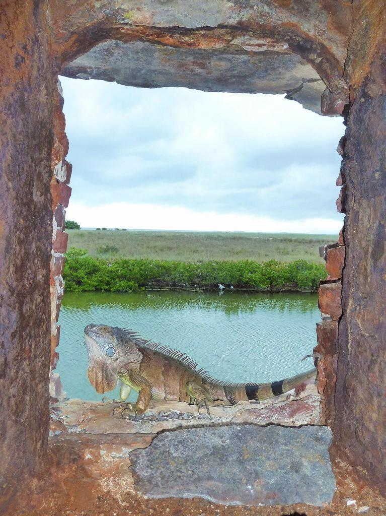 Keys iguane Fort Zachary
