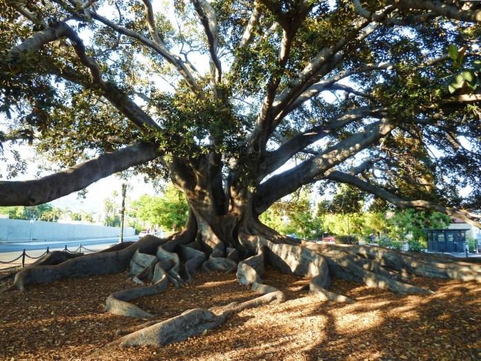 santa barbara big tree