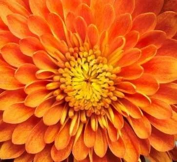 Chrysanthemum Seriously Flowers Flowers Gardening