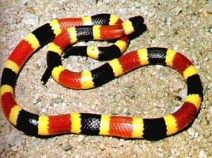 serpiente coral