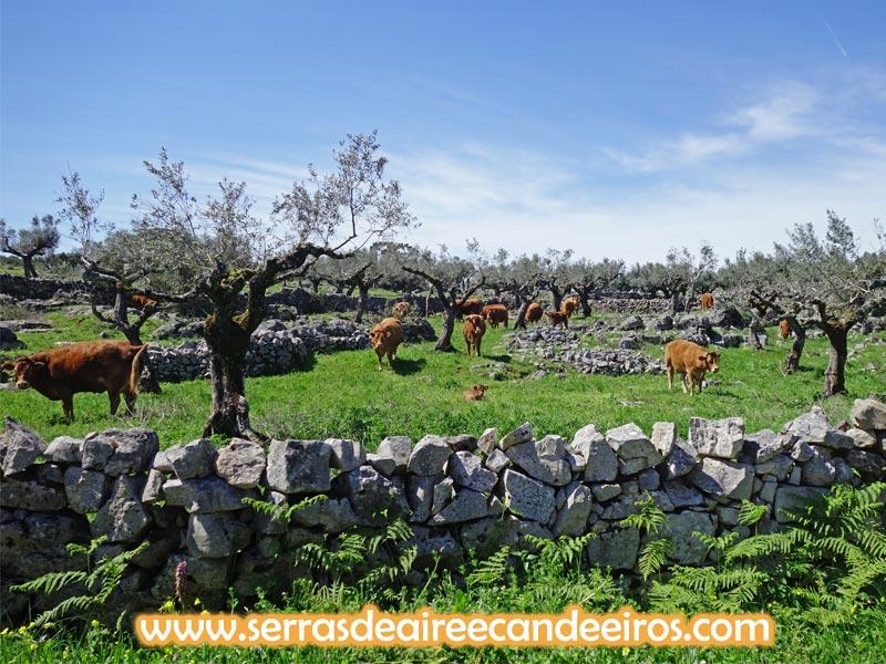 vacas pastar