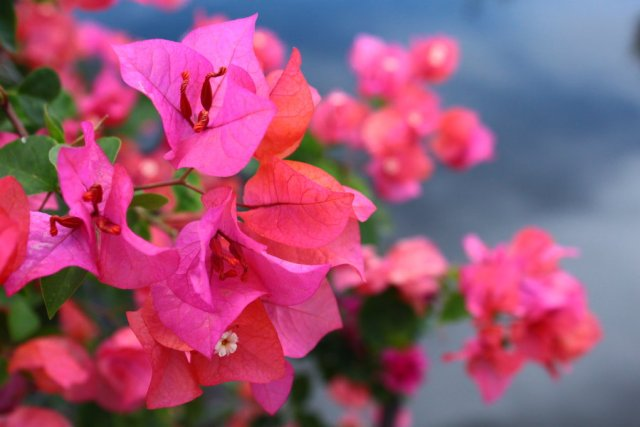 Tanaman hias bunga bougenville