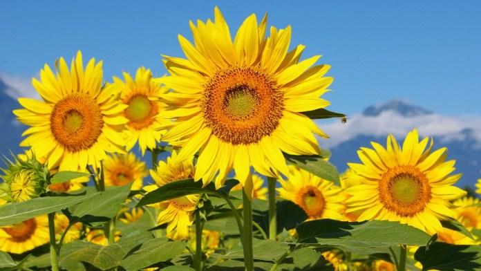 Tanaman hias bunga matahari